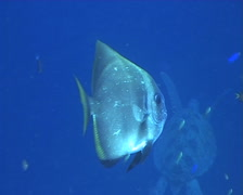 Batfish in Midwater getting cleaned Stock Footage