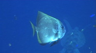Stock Video Footage of Batfish in Midwater getting cleaned