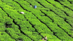 Tea pickers in the tea plantations, Munnar, Kerala, India Stock Footage