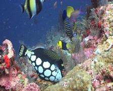 Clown Triggerfish feeding Stock Footage