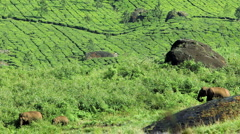 Family of Elephants feeding freely in the countryside, Munnar, Kerala, India Stock Footage