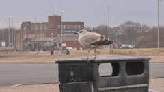 Crying sea gull in winter plumage standing on top of litter bin at seaside. Stock Footage