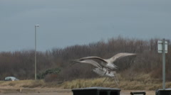 Sea gull in Winter plumage lands on litter bin in seaside car park Stock Footage