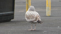 Sea Gull in winter plumage walks in seaside car park on windy winter day. Stock Footage