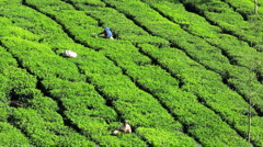 Workers cutting the tea from the tree on a plantation, Munnar, Kerala, India Stock Footage