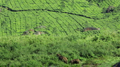 Family of Elephants feeding freely, by Tea plantations, Munnar Stock Footage