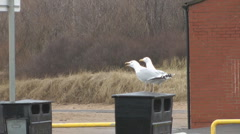 Two seagulls perched on litter bin, cry and fly away in alarm at dalmatian dog Stock Footage
