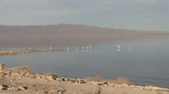 Salton Sea, California, Zoom with American White Pelicans Stock Footage