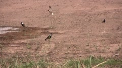 Spur-Winged Plovers in Iraq Stock Footage