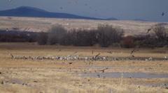 Mess of Birds in a Feild Stock Footage