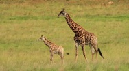 Giraffe Family Walking Together at Sunset Stock Footage