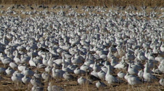Huge Gaggle of Snow Geese Stock Footage