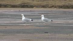 Two large sea gulls walking in seaside car park in winter. Stock Footage