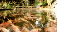 Stock Video Footage of Tilapia underwater