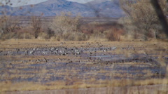 Mess of Birds at a field Stock Footage