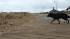 Large chocolate brown Labrador dog pulls owner across the walkway to sand dunes. Stock Footage