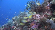 Stock Video Footage of Busy Coral Reef Scene
