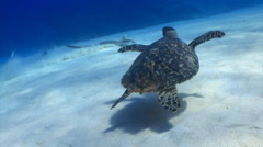 Stingray eating and turtle swimming Stock Footage