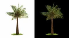 Palm Tree Blowing with Alpha (isolated) Stock Footage
