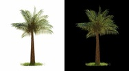 Stock Video Footage of Palm Tree Blowing with Alpha (isolated)