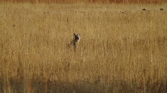Coyote Sitting in a Field Watching for Bird- Stock Footage