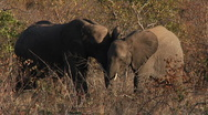 Stock Video Footage of African Elephants pair in Wild 1080 30p