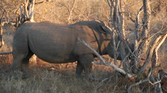 Africa Rino in the wild Stock Footage