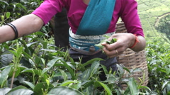 Ceylon tea Stock Footage