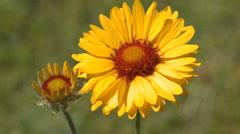 Brown-Eyed Susan wildflower Stock Footage