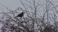 Female Blackbird eats berries. Stock Footage