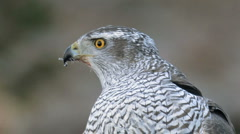 Goshawk in the wild - sneezing Stock Footage