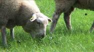 Sheep farm Stock Footage