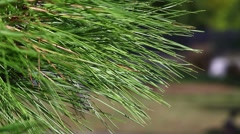 Long Leaf Pine Sways in Breeze  - stock footage