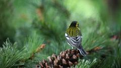 Yellow bird on pinecone Stock Footage