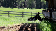 Stock Video Footage of Turkeys mating at ranch
