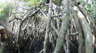 Mangrove jungle Stock Footage