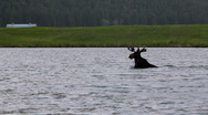 Stock Video Footage of Moose in pond