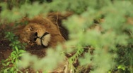 Lion Sleeping in Forest GFHD Stock Footage