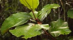 Rain falling on a Melastomataceae plant Stock Footage