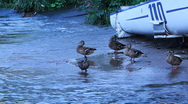 Stock Video Footage of Ducks family