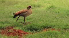 Bird Egyptian Goose WS GFHD Stock Footage