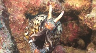 Stock Video Footage of dragon moray eel