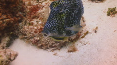 Cowfish and remora Stock Footage