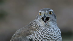 Goshawk in the wild - stock footage