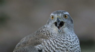 Stock Video Footage of Goshawk in the wild