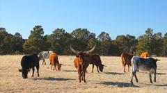 110108 longhorn herd - stock footage