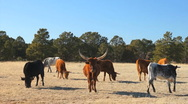 Stock Video Footage of 110108 longhorn herd