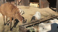 110114 petting zoo Stock Footage