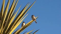 Sparrows on Agave cactus Stock Footage
