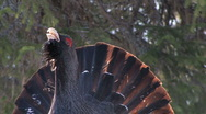 Stock Video Footage of Capercaillie Grouse